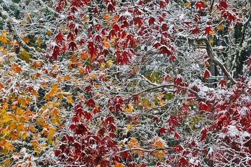 Japanese Maple「Autumns fresh snow」:スマホ壁紙(3)