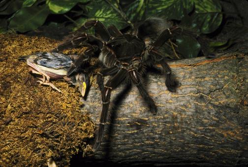 Animals Hunting「bird eating spider」:スマホ壁紙(11)