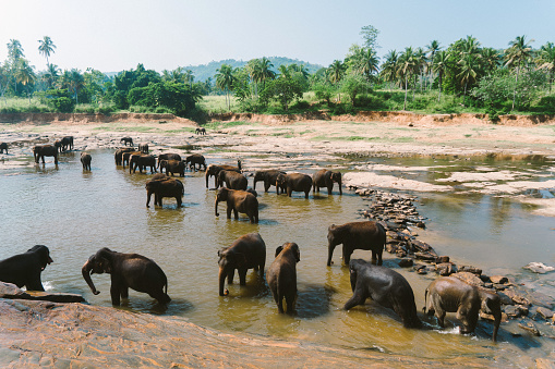 Sri Lanka「Elephants bathing in Pinnavella」:スマホ壁紙(1)