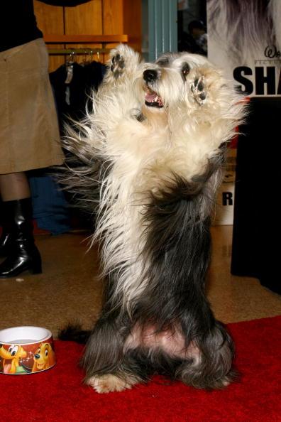ワールド・オブ・ディズニーストア「Walt Disney Pictures Presents The Stars Of 'The Shaggy Dog'」:写真・画像(13)[壁紙.com]