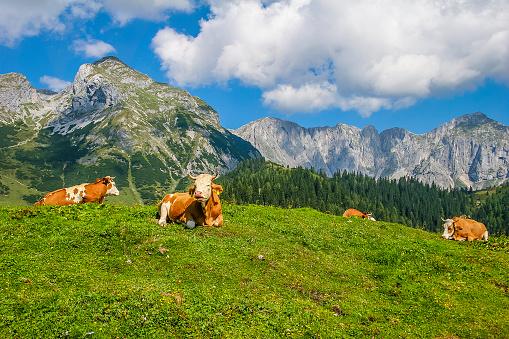 Cumulus Cloud「Cows resting, Salzburgerland」:スマホ壁紙(3)
