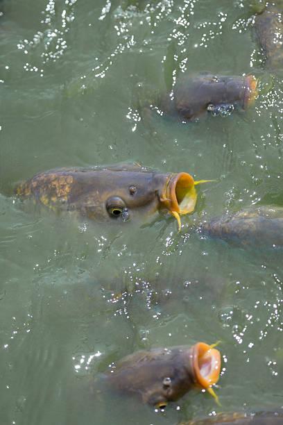 Kois in a pond:スマホ壁紙(壁紙.com)