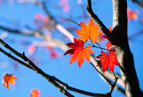Japanese Maple「Fall Leaves」:スマホ壁紙(4)