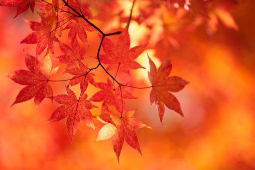 Japanese Maple「Fall Leaves」:スマホ壁紙(11)