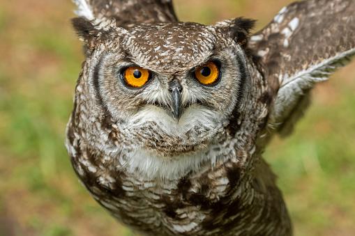 Animal Ear「Close shot of an eagle owl」:スマホ壁紙(15)