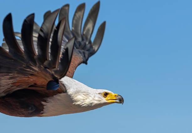 Close shot of a flying African fish eagle (Haliaeetus vocifer):スマホ壁紙(壁紙.com)