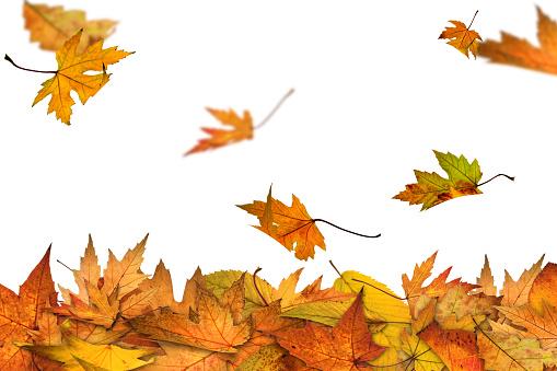 かえでの葉「秋はこちらから」:スマホ壁紙(14)