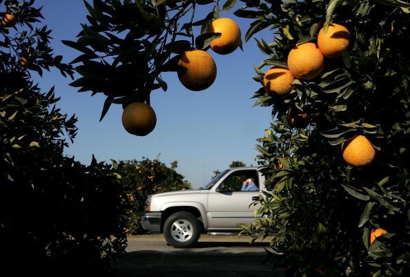 Orange - Fruit「Cold Snap Endangers California Citrus Crop」:写真・画像(0)[壁紙.com]