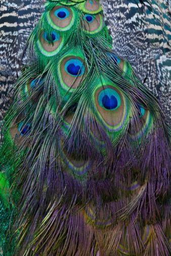 鳥「The Back of an Indian Peafowl, Pavo cristatus」:スマホ壁紙(7)