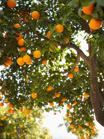 Citrus Fruit「Oranges on tree in orchard」:スマホ壁紙(9)
