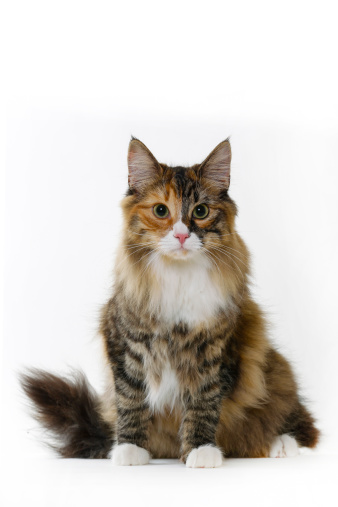 Looking At Camera「Norwegian forest cat」:スマホ壁紙(9)