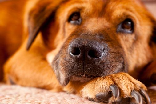 Animal Ear「Old dog resting on the floor」:スマホ壁紙(3)