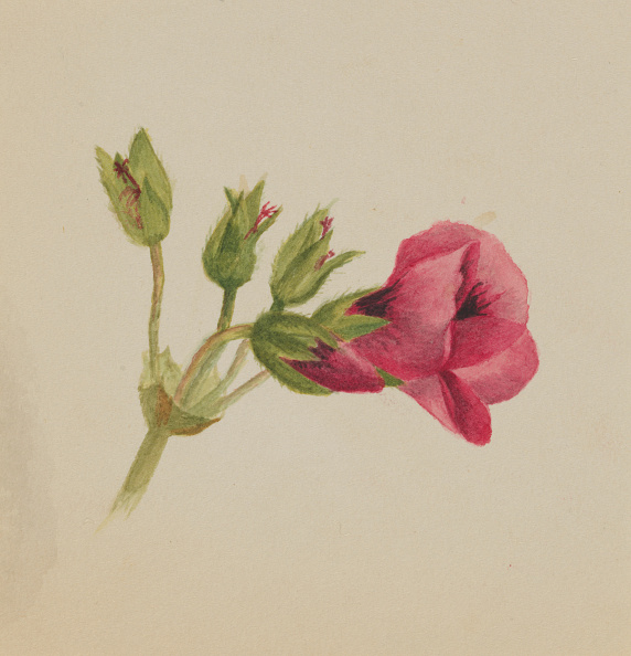 Single Flower「(Untitled--Flower Study)」:写真・画像(1)[壁紙.com]
