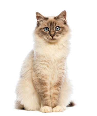 バーマン猫「Birman sitting and looking at the camera」:スマホ壁紙(0)
