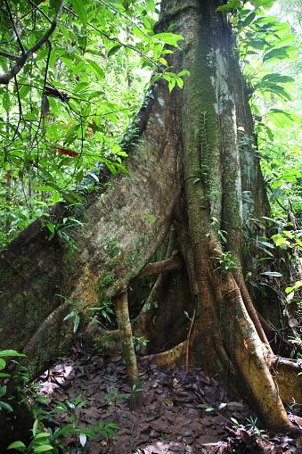 Amazon Rainforest「The root of tree in Amazon Tropical Rainforest, Brazil」:スマホ壁紙(14)