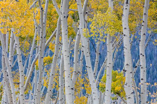 Aspen Tree「Aspen trees during autumn, Fishlake National Forest, Utah, USA」:スマホ壁紙(13)