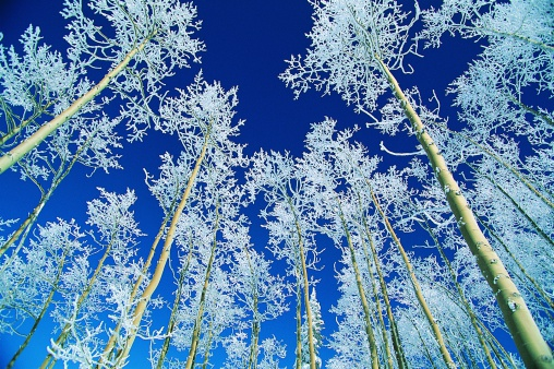 Aspen Tree「Aspen Trees, Steamboat, Colorado」:スマホ壁紙(5)