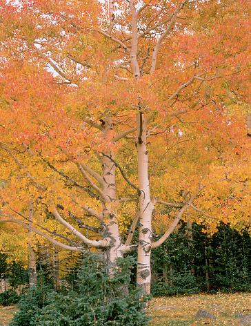 Aspen Tree「Aspen Trees in Autumn」:スマホ壁紙(4)