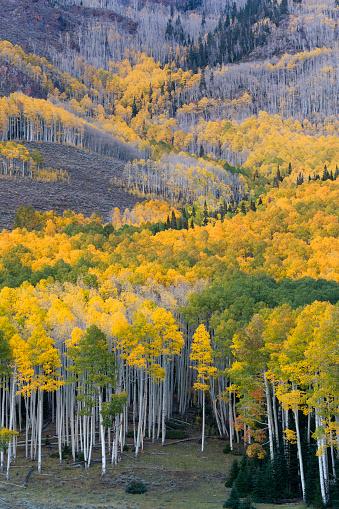 Aspen Tree「Aspen trees in autumn」:スマホ壁紙(8)