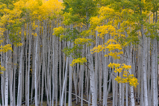 Aspen Tree「Aspen trees in autumn」:スマホ壁紙(11)