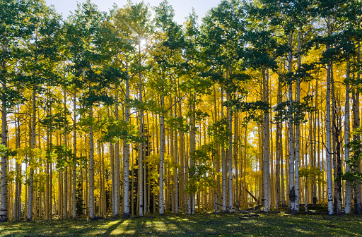 Utah「Aspen trees in autumn」:スマホ壁紙(16)