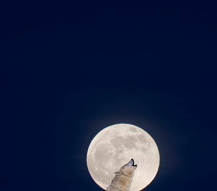 Wolf「Lone wolf howling at night.」:スマホ壁紙(18)