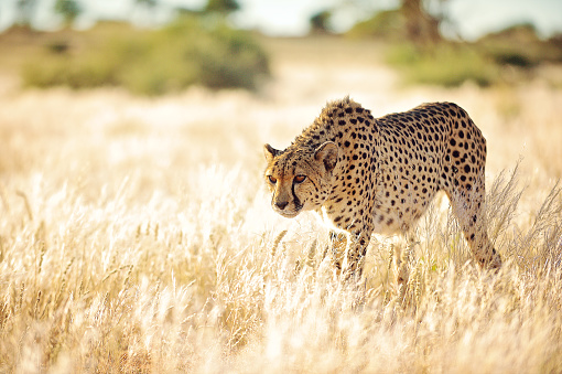 Animals Hunting「Cheetah slowly approaching in golden grass」:スマホ壁紙(18)
