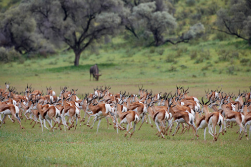 Gazelle「Springbok, Kgalagadi Transfrontier Park」:スマホ壁紙(17)