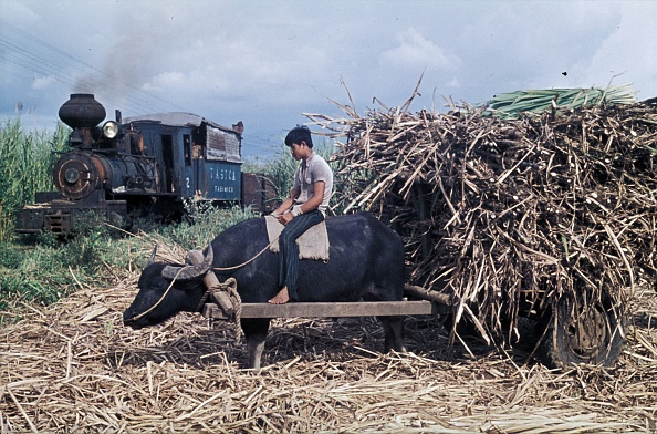November「Water Buffalo known as Carabaos bring the cane to the railhead as Alco Mogul No.2 arrives with empties. A scene on the Nakalang Line of the Ma Ao Sugar Central on the Philippines island of Negros on Monday November 4th 1974.」:写真・画像(3)[壁紙.com]