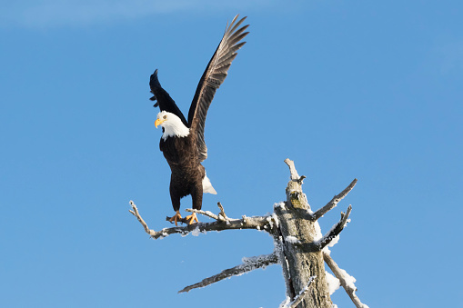 Landing - Touching Down「Adult bald eagle (Haliaeetus leucocephalus) perched on a dead tree killed by earthquake/saltwater, taking flight with wings in the air against a blue sky, Portage Valley」:スマホ壁紙(10)
