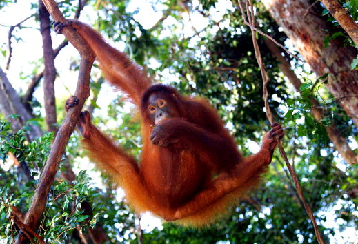 Animal Wildlife「Tanjung Puting National Park in Kalimantan, Indonesia」:写真・画像(2)[壁紙.com]