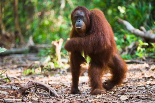Females「A female orangutan walking on back legs.」:スマホ壁紙(17)