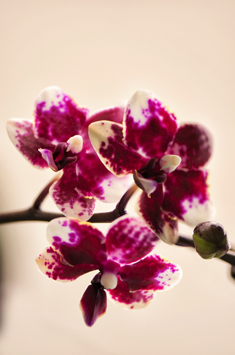 花「Doritaenopsis Sogo Chabstic 'Vini Harl'」:スマホ壁紙(7)