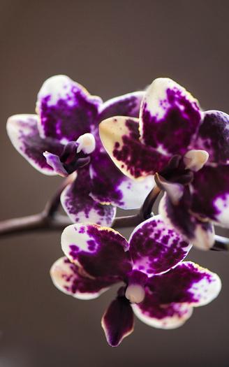 花「Doritaenopsis Sogo Chabstic 'Vini Harl'」:スマホ壁紙(9)