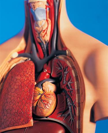 Fitness model「Cutaway model of human chest and neck」:スマホ壁紙(15)