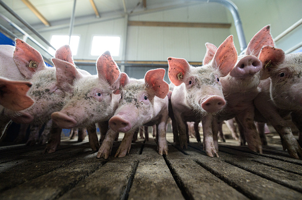 Pig「Pig Farmers Fear Losses As Slaughterhouses Remain Closed Following Covid-19 Outbreaks」:写真・画像(7)[壁紙.com]