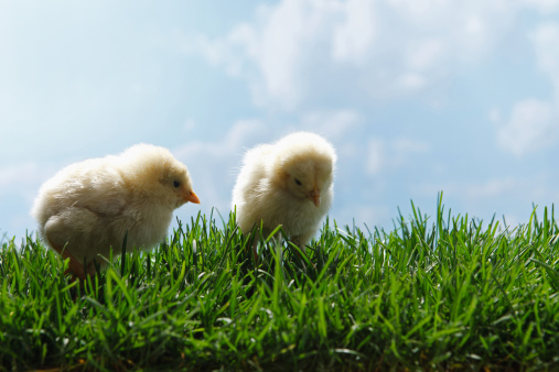 探求「Fellow chicks on lawn」:スマホ壁紙(12)