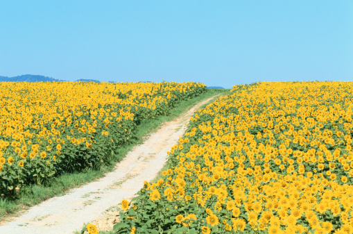 ひまわり「Path through sunflower field」:スマホ壁紙(16)