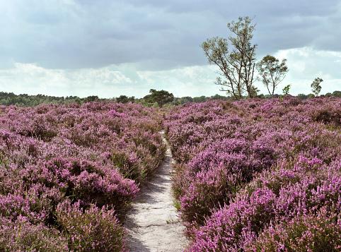 Belgium「Path through a heather landscape in bloom, Kalmthoutse Heide, Belgium」:スマホ壁紙(18)