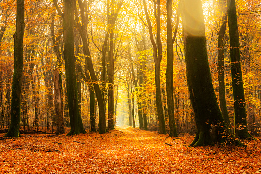 Autumn Leaf Color「Path through a gold colored forest during a beautiful sunny fall day」:スマホ壁紙(10)