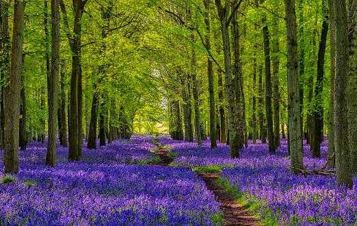 Deciduous tree「Path Through The Bluebells」:スマホ壁紙(4)