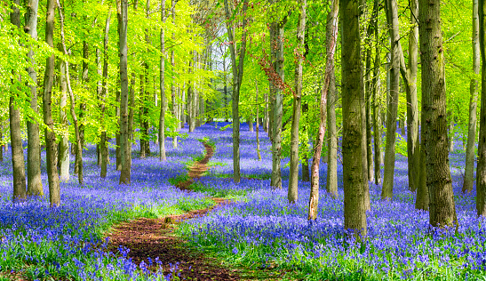Chiltern Hills「Path Through The Bluebell Wood In Springtime」:スマホ壁紙(3)