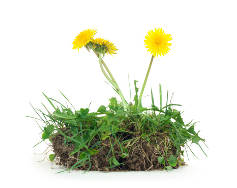 Wildflower「Dandelion and Dirt Isolated」:スマホ壁紙(5)