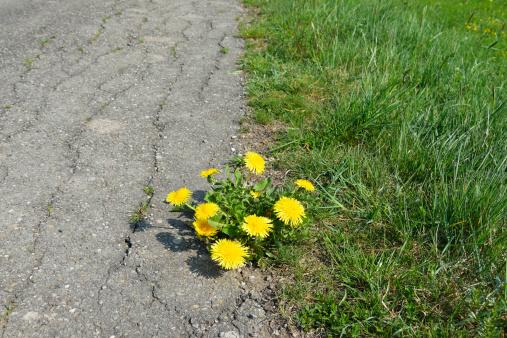 たんぽぽ「Dandelion at the Roadside」:スマホ壁紙(15)