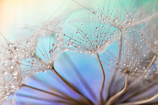 Single Flower「Dandelion and dew drops」:スマホ壁紙(9)