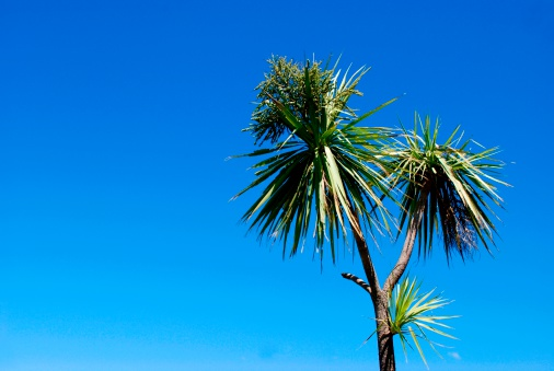 New Zealand Culture「Cabbage Tree (Cordyline Australis), New Zealand」:スマホ壁紙(18)