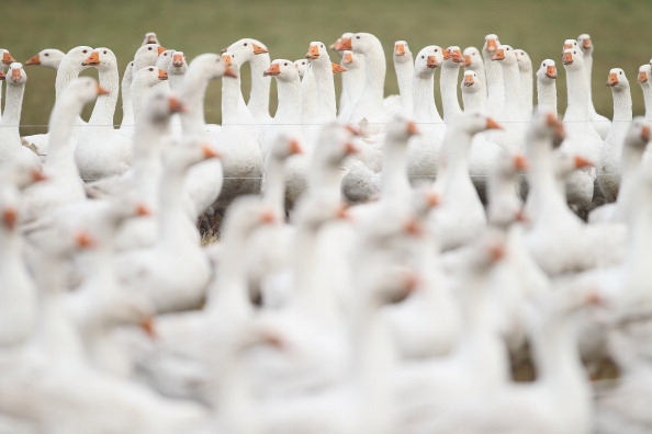 雁「Goose Farmers Prepare For Christmas Season」:写真・画像(16)[壁紙.com]