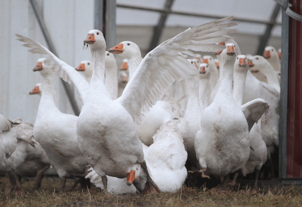 雁「Goose Farmers Prepare For Christmas Season」:写真・画像(1)[壁紙.com]