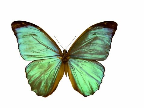 Animal Wing「Morpho butterfly - isolated on white」:スマホ壁紙(5)