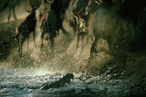 Battle「nile crocodile, crocodylus niloticus, attack on wildebeest, serengeti,tz」:スマホ壁紙(8)